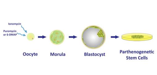 oocytes blast oklahoma