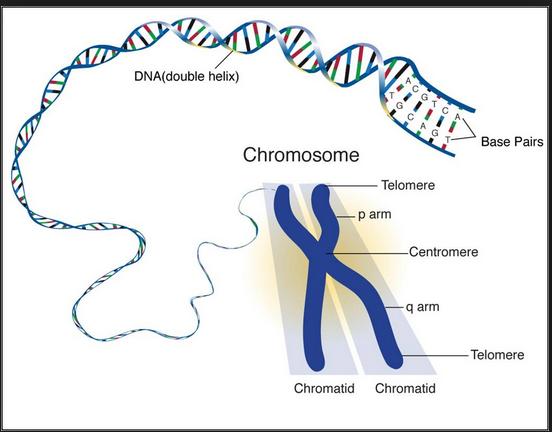 dna gene chromosome gametes