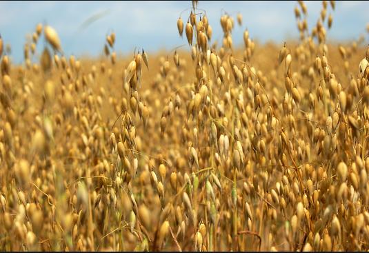 oat straw blonde 1
