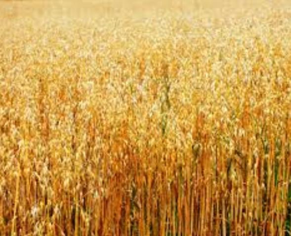 oat straw blonde 2