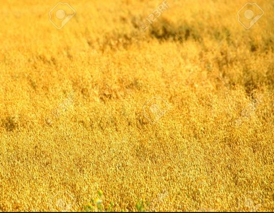 straw golden blonde oats